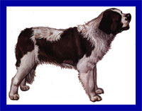 a well breed St. Bernard dog